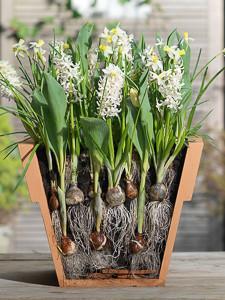 Crocus 'Jeanne d'Arc',Hyacinthus 'White Festival',Lasagna layering,Narcissus 'Sailboat',Scilla mischtschenkoana,Tulipa 'Fun for Two'
