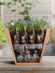 Anemone blanda 'Blue Shades',Hyacinthus 'Peter Stuyvesant',Lasagna layering,Muscari aremeniacum,Tulipa
