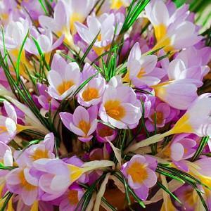 Crocus, fragrant crocus, scented crocus, Fragrant Spring Bulbs,  Crocus chrysanthus, Crocus siberi, Snow Crocus, Early Crocus