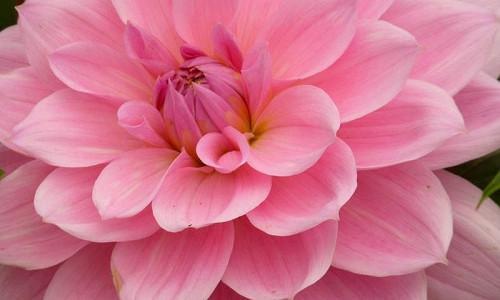 Waterlily Dahlias, Beautiful Dahlias, Best Dahlias, Top Dahlias, Great Dahlias, Dahlia Tubers, Dahlia Bulbs, Dahlia Flower, Dahlia Flowers, summer bulbs