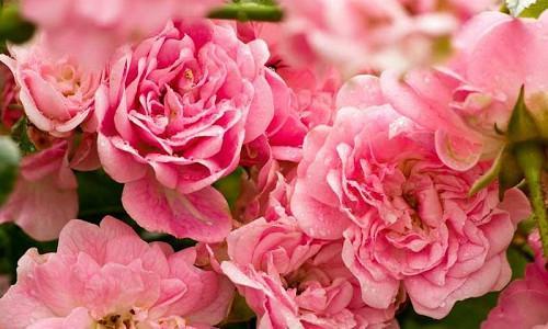Best Roses, Best Hybrid Tea Roses, Best Floribunda Roses, Best Grandiflora Roses, Best Miniature Roses, Best Climbing Roses, Best Landscape Roses