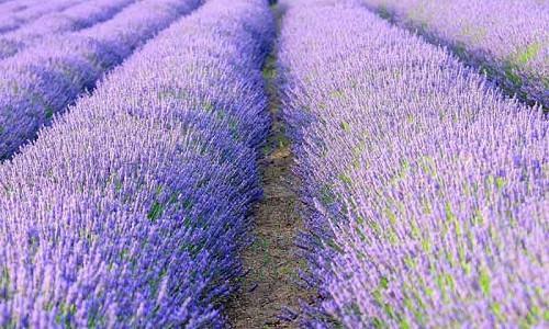 Lavender hedge, Lavender hedging, Lavender hedges, English Lavender, Spanish lavender, French Lavender, lavandula angustifolia, lavandula stoechas, lavandula x intermedia, Lavender path, fragrant hedges