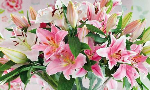 Fragrant lilies, Most fragrant lilies, Lilies for cutting, Asiatic Lilies, Oriental Lilies, Orienpet Lilies