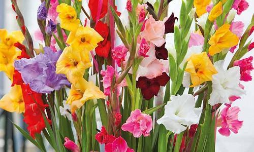 Gladiolus, Glads, Sword-Lilies, Gladiolus grandiflorus, Gladiolus nanus, Gladiolus callianthus murielae, Abyssinian Sword Lily, Gladiolus communis ssp Byzanthinus, Byzantine Gladiolus