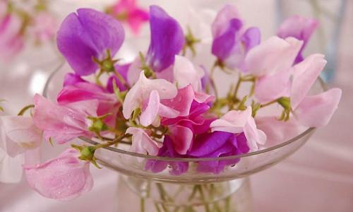 Lathyrus Odoratus, Sweet Pea, Annual plant, Fragrant Plant, Climbing plant,Annual Flowers, Fragrant Flowers, Climbing Flowers, Scented Flowers,