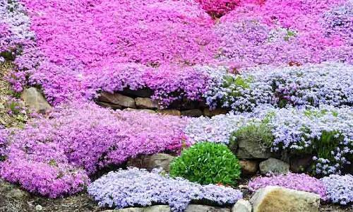 Creeping Phlox, Moss Phlox, Moss Pink, Mountain Phlox, Phlox subulata, white flowers, pink flowers, blue flowers, purple flowers, spring flowers, companion plants