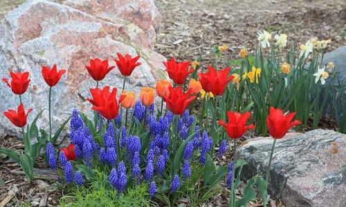 Naturalizing bulbs, Bulbs that come back, Perennial Bulbs, Bulbs for Rock Gardens, Perennial Crocus, Perennial Narcissus, Perennial Tulips, Perennial Galanthus, Perennial Anemones, Snowdrops, Bulbs in Rock Gardens