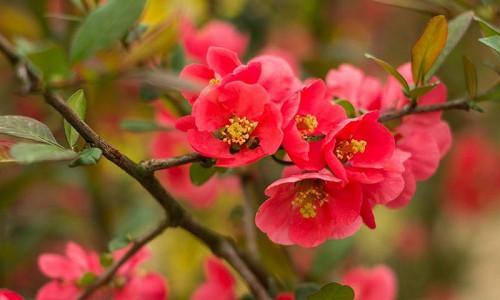 Winter Garden, Early Spring Garden, Winter Flowers, Hellebore, Christmas Rose, Lenten Rose, Flowering quINCE, Cornelian Cherry, witch hazel, Hamamelis, Heath, Erica, Cornus Mas