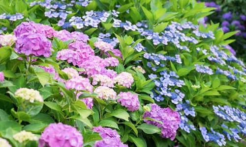 Hydrangea types, Hydrangea macrophylla, Hydrangea paniculata, Hydrangea quercifolia, Hydrangea serrata, Mophead Hydrangeas, Lacecap Hydrangeas, Mountain Hydrangeas, Oakleaf Hydrangeas