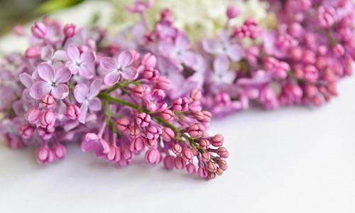 Lilacs, Lilac for the South, Fragrant Shrubs, Small Shrubs, Syringa vulgaris, Common Lilac, Dwarf Lilacs, Reblooming Lilacs, Heat tolerant Lilacs