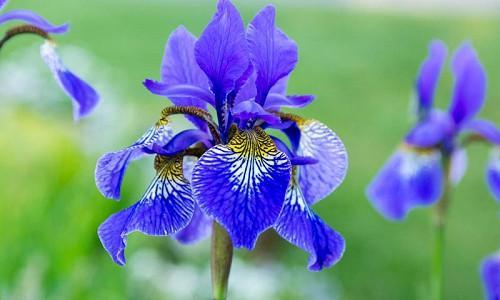 Best Siberian Iris, Best Iris Siberica, Siberian Iris best varieties, Iris Siberica best varieties, Bes Siberian flag, Dykes Medal, Morgan Award