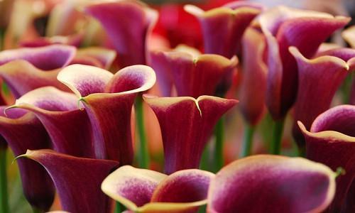 Zantedeschia, Calla Lilies, Arum Lilies, Calla Lilies Bulbs, Arum Lilies Bulbs, Calla Lilies Tubers, Arum Lilies Tubers, Planting Calla Lilies, Caring for Calla Lilies, Growing Calla Lilies, Calla Lilies Care