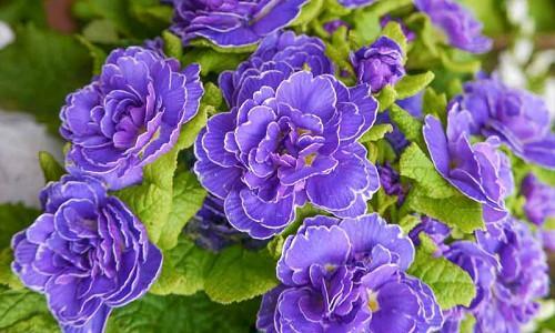 Double Primroses, Double Primulas, Belarina Series, Primulas,