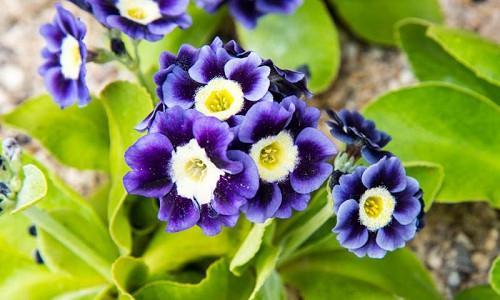 Border Auriculas, Alpine Auriculas, Border Primroses, Garden Auriculas, Dusty Millers, Rock Garden Primulas, Rock Garden Primroses,