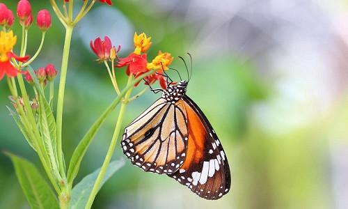 Milkweed, Common Milkweed, Butterflyweed, Swamp Milkweed, Showy Milkweed, Mexican Whorled Milkweed, Tropical Milkweed, Asclepias syriaca, Asclepias tuberosa, Asclepias incarnata, Asclepias speciosa, Asclepias fascicularis, Asclepias curassavica