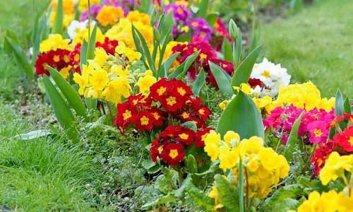 Primula Types, Primrose Types,  Primroses, Polyanthus primulas, Double Primulas, Border Auriculas, Garden Auriculas, Alpine Auriculas, Candelabra Primulas, Bog Garden Primulas, Belled Primulas