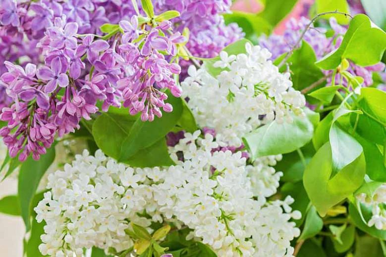 Pretty Lilacs For Small Gardens