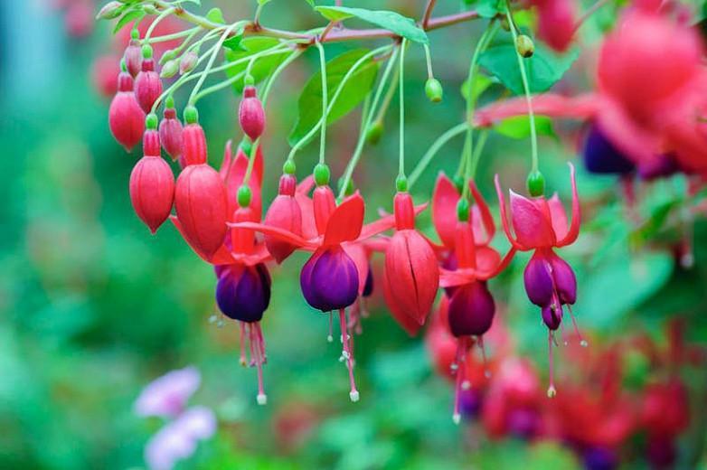 Reliable Hardy Fuchsias For Your Garden