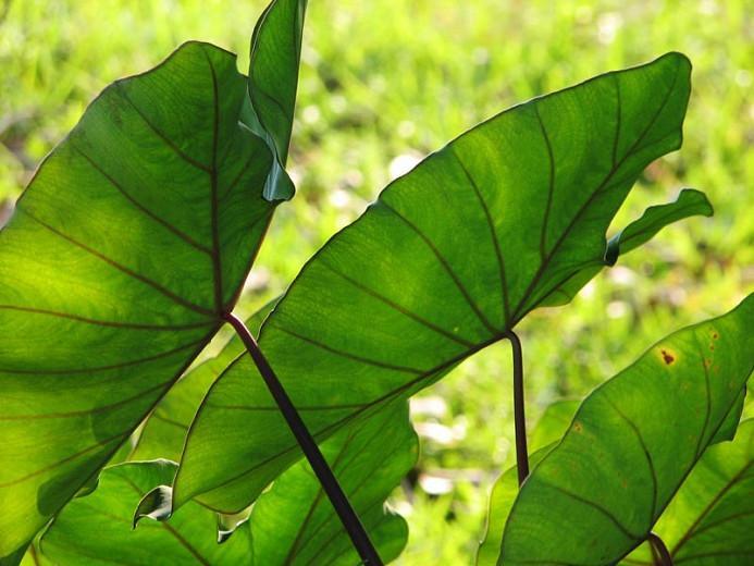 Learn How To Plant Care And Grow Splendid Elephant Ears