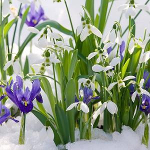 Garden ideas, Border ideas, Plant Combinations, Bulb Combinations, Flowerbeds Ideas, Winter borders, Spring Borders, Dwarf Iris, Iris reticulata, Galanthus Nivalis, Snowdrops, Fragrant flower bulbs