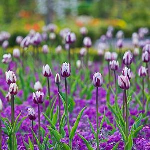 Spring Combination Ideas, Bulb Combinations, Plant Combinations, Flowerbeds Ideas, Spring Borders, Purple Border, Tulip Zurel, Purple Tulip, Bicolor tulip, Tulipa Zurel, Tulipe Zurel, Erysimum 'Bowles' Mauve', Erysimum