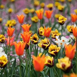 Spring Combination Ideas, Bulb Combinations, Plant Combinations, Flowerbeds Ideas, Spring Borders,Tulip Gavota, Tulip Ballerina, Daffodil Geranium, Lily Flowered tulips,Lily Flowering tulips,Tulipa Gavota, Tulipa Ballerina, Narcissus Geranium. Tazetta daf