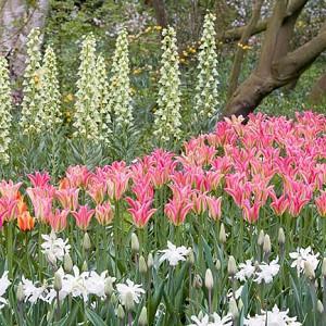 Spring Combination Ideas, Bulb Combinations, Plant Combinations, Flowerbeds Ideas, Spring Borders, Tulip Virichic, Daffodil Thalia, Narcissus Thalia, Fritillaria Persica Ivory Bells, Tulipa Virichic