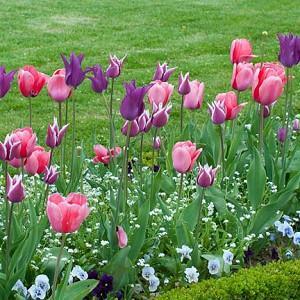 Spring Combination Ideas, Bulb Combinations, Plant Combinations, Flowerbeds Ideas, Spring Borders,Tulip Burgundy, Tulip Menton, Tulip Ballade, myosotis sylvatica, forget-me-not,Tulipa Burgundy, Tulipa Menton, Tulipa Ballade