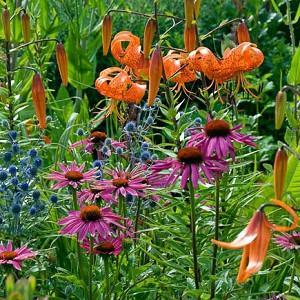 Garden ideas, Border ideas, Plant Combinations, Flowerbeds Ideas, Summer Borders, Summer Borders, Lilium lancifolium, Tiger lily, Echinacea purpurea, Coneflower, Sea Holly,  Eryngium
