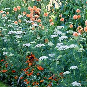 Garden Ideas, Border ideas, Perennial Planting, Perennial combination, Dahlia David Howard, Amni Visnaga, Toothpick Weed, Rudbeckia 'Autumn Colors', Rudbeckia 'Autumn Colours', Zinnia Profusion, summer borders