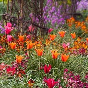 Spring Combination Ideas, Bulb Combinations, Plant Combinations, Flowerbeds Ideas, Spring Borders, Purple Border, Tulip Ballerina, Tulip Doll's Minuet, Erysimum; Lunaria Annua, Silver dollar, Honesty Plant