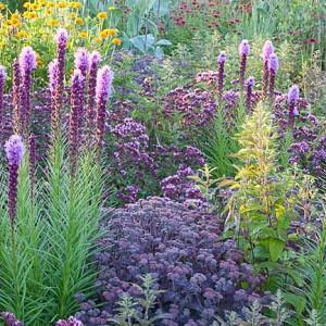 Garden Ideas, Border ideas, Perennial Planting, Perennial combination, Summer Borders, Fall Borders,  Heliopsis 'Asahi', Sedum 'Karfunkelstein', Origanum 'Rosenkuppel, Liatris spicata