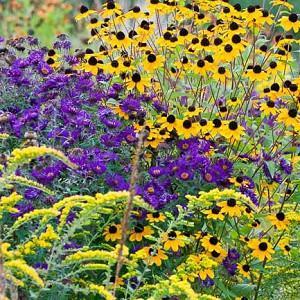 Garden ideas, Border ideas, Plant Combinations, Flowerbeds Ideas, Summer Borders, Fall borders, Asters, New England Aster, Rudbeckia Triloba, Solidago rugosa, Goldenrod Fireworks, Solidago 'Fireworks'