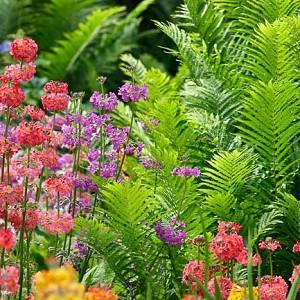 Garden Ideas, Border ideas, Perennial Planting, Perennial combination, Spring Borders, Summer Borders, Bog Gardens, Shade gardens,  Candelabra primroses, Candelabra Primulas, Ostrich Fern.