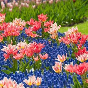 Spring Borders, Bulb Combinations, Perennial Combinations, Tulip Toronto, Tulip Quebec, Muscari Armeniacum, Tulip Winnipeg, Tulipa Toronto, Tulipa Quebec, Muscari, Tulipa Winnipeg
