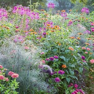 Garden Ideas, Border ideas, Perennial Planting, Perennial combination, Summer Border, Pennisetum villosum, Tithonia rotundifolia, Zinnia elegans, Foeniculum vulgare, Cleome spinosa