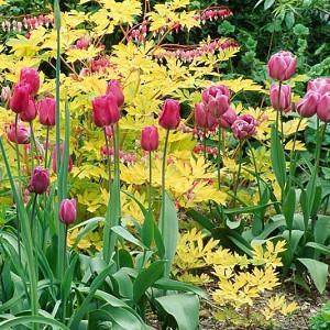Spring Combination Ideas, Bulb Combinations, Plant Combinations, Flowerbeds Ideas, Spring Borders, Tulip Greuze, Tulip Blue Heron, Dicentra Spectabilis, Pink tulips, Purple Tulips