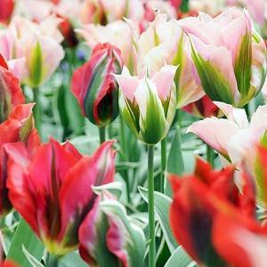 Spring Combination Ideas, Bulb Combinations, Plant Combinations, Flowerbeds Ideas, Spring Borders, Tulip China Town, Tulip Esperanto, Tulipa China Town, Tulipa Esperanto, Tulipe China Town, Tulipe Esperanto