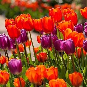 Spring Combination Ideas, Bulb Combinations, Plant Combinations, Flowerbeds Ideas, Spring Borders,Tulip Cassini,Tulip Negrita,Tulip Hermitage, Tulip Purple Flag, Tulipa Cassini,Tulipa Negrita,Tulipa Hermitage, Tulipa Purple Flag
