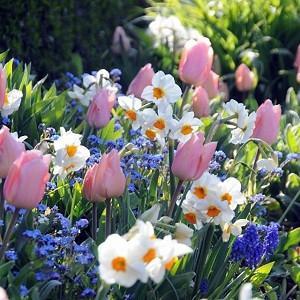 Spring Borders, Bulb Combinations, Perennial Combinations, Tulip Christmas Dream, Narcissus Cragford, Muscari Armeniacum, Narcissus Geranium, Tulipa Christmas Dream, Daffodil Cragford, Muscari, Daffodil Geranium