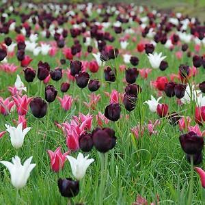 Spring Combination Ideas, Bulb Combinations, Plant Combinations, Flowerbeds Ideas, Spring Borders, Tulip Yonina, Tulip Ronaldo, Tulip White Triumphator,Tulip Tres Chic, Tulip Capri