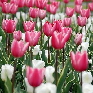 Spring Combination Ideas, Bulb Combinations, Plant Combinations, Flowerbeds Ideas, Spring Borders, Tulip Charmeur, Tulip Calgary, Tulipa Charmeur, Tulipa Calgary