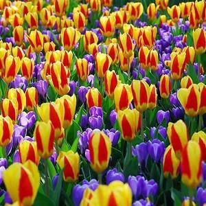 Spring Borders, Bulb Combinations, Perennial Combinations, Tulip Stresa, Crocus vernus Remembrance, Tulipa Stresa, Crocus Remembrance, Spring bulbs, Spring Flowers, Early spring Bulb Combination