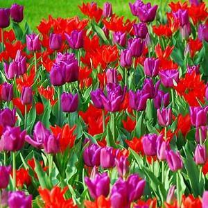 Spring Combination Ideas, Bulb Combinations, Plant Combinations, Flowerbeds Ideas, Spring Borders, Tulip Pretty Woman, Tulip Passionale, Tulipa Pretty Woman, Tulipa Passionale, Tulipe Pretty Woman,Tulipe Passionale,