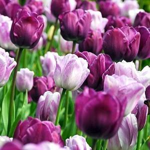 Spring Combination Ideas, Bulb Combinations, Plant Combinations, Flowerbeds Ideas, Spring Borders, Tulip Negrita, Purple Tulip, Tulip Shirley, Tulipa Negrita, Tulipa Shirley, Tulipe Negrita, Tulipe Shirley,