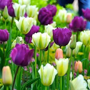 Spring Combination Ideas, Bulb Combinations, Plant Combinations, Flowerbeds Ideas, Spring Borders, Tulip 'Negrita',Tulip 'Menton', Tulip 'Spring Green', Tulipa 'Negrita',Tulipa 'Menton', Tulipa 'Spring Green'