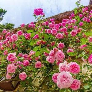 Climbing roses, Patio Roses, Rose Bonica, Rose Compassion, Rose New Dawn, Rose Aloha, Rose Caroline Testout, Rose Albertine, Pink roses, Pink climbing roses