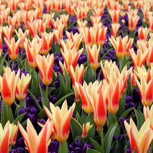 Spring Borders, Bulb Combinations, Perennial Combinations, Tulip Heart's Delight, Crocus vernus Remembrance, Tulipa Heart's Delight, Crocus Remembrance, Spring bulbs, Spring Flowers, Early spring Bulb Combination