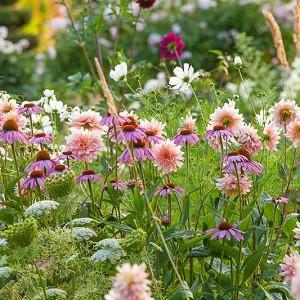 Garden Ideas, Border ideas, Perennial Planting, Perennial combination, Dahlia Gerrie Hoek, Echinacea purpurea, Coneflowers, cosmos, Amni Visnaga, Toothpick Weed, summer borders, fall borders