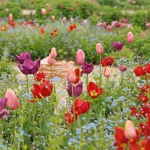 pring Combination Ideas, Bulb Combinations, Plant Combinations, Flowerbeds Ideas, Spring Borders, Tulip Menton, Tulip Negrita,Tulip Ile de France,Tulipa Menton, Tulipa Negrita,Tulipa Ile de France,Tulipe Menton, Tulipe Negrita,Tulipe Ile de France,